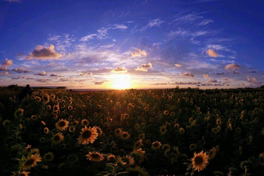 rhossilli sunflowers